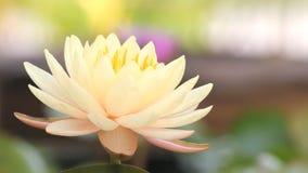 Lirio de agua amarilla rosado, floración de la flor de loto, almacen de video