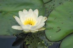 Lirio de agua amarilla y blanca en una charca del jardín fotografía de archivo