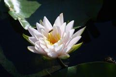 Lirio de agua antes en la plena floración Imagenes de archivo