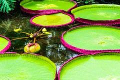 Lirio de agua australiano entre el regia gigante en los jardines de Kew, Londres del amazonica de Victoria de los cojines de liri foto de archivo