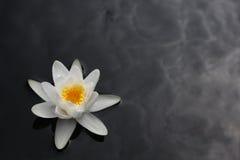 Lirio de agua blanca Fotos de archivo libres de regalías