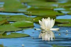 Lirio de agua blanca Imagen de archivo libre de regalías