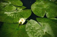 Lirio de agua blanca Fotografía de archivo libre de regalías