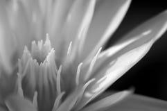 Lirio de agua blanca Fotografía de archivo