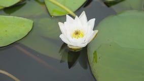 Lirio de agua blanca en el lake_2 almacen de metraje de vídeo