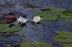 Lirio de agua blanca en la charca en verano, en agua de manatial los pétalos de la belleza floreciente de la charca del río Blanc Imagen de archivo libre de regalías