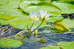Lirio de agua blanca hermoso imagen de archivo