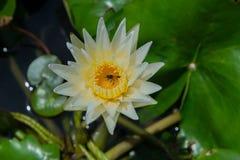 Lirio de agua blanca hermoso con la abeja Imagen de archivo libre de regalías