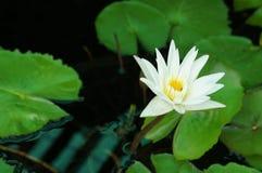 Lirio de agua blanca hermoso con las hojas verdes imagenes de archivo