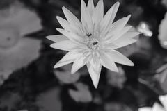 Lirio de agua blanco y negro Imagenes de archivo