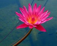 Lirio de agua brillante Fotografía de archivo libre de regalías