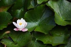 Lirio de agua con el flor blanco y rosado Imagen de archivo libre de regalías