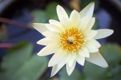 Lirio de agua con la abeja Foto de archivo libre de regalías