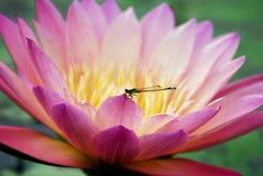 Lirio de agua con la mosca del dragón foto de archivo libre de regalías