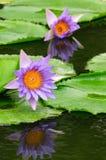 Lirio de agua de dos púrpuras (loto) Fotografía de archivo