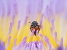 Lirio de agua de la abeja, loto en naturaleza Fotos de archivo libres de regalías