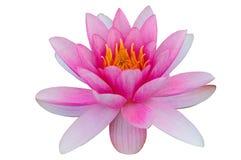 Lirio de agua de Lotus aislado con el fondo del blanco de la trayectoria de recortes Fotos de archivo libres de regalías