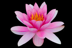 Lirio de agua de Lotus aislado con el fondo del negro de la trayectoria de recortes Imágenes de archivo libres de regalías