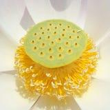 Lirio de agua de Lotus del primer Imagen de archivo libre de regalías
