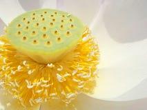 Lirio de agua de Lotus del primer Fotografía de archivo libre de regalías