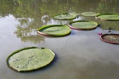 Lirio de agua de Victoria foto de archivo libre de regalías