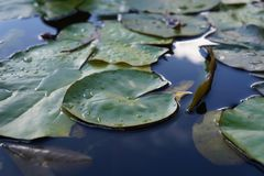 Lirio de agua después del fondo borroso lluvia imagen de archivo libre de regalías