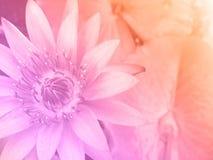 Lirio de agua dulce del color foto de archivo libre de regalías