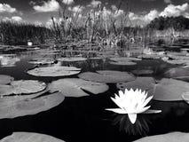 Lirio de agua en blanco y negro Fotos de archivo