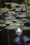 Lirio de agua en el lago Garten en Escocia Foto de archivo libre de regalías