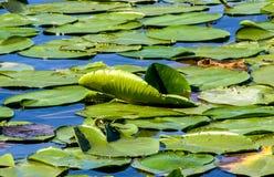 Lirio de agua en el lago Skadar Fotografía de archivo libre de regalías