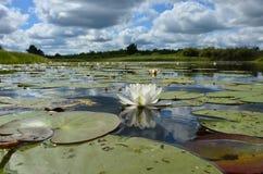 Lirio de agua en el pantano imagen de archivo libre de regalías