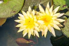 Lirio de agua en negro Abeja que chupa loto del polen del néctar Imágenes de archivo libres de regalías