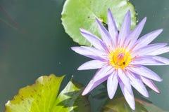 Lirio de agua en negro Abeja que chupa loto del polen del néctar Fotografía de archivo