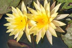 Lirio de agua en negro Abeja que chupa loto del polen del néctar Fotos de archivo
