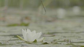 Lirio de agua en pantano Lirio de agua en pantano Lotus en naturaleza en fondo natural Lotus blanco en el cierre del pantano para almacen de metraje de vídeo