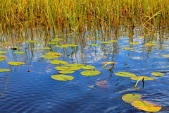 Lirio de agua en un lago Fotos de archivo