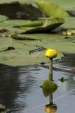 Lirio de agua entre las hojas Fotografía de archivo