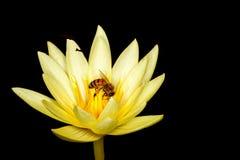 Lirio de agua exótico con la abeja Imágenes de archivo libres de regalías