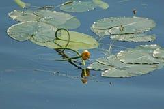 Lirio de agua florecido de la flor imagenes de archivo