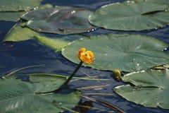 Lirio de agua florecido de la flor imagen de archivo