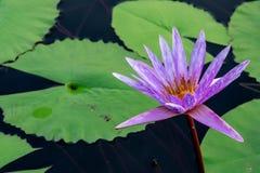 Lirio de agua floreciente Foto de archivo libre de regalías