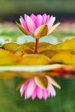 Lirio de agua floreciente en una charca Imagenes de archivo