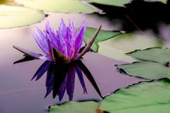 Lirio de agua floreciente púrpura Fotografía de archivo libre de regalías