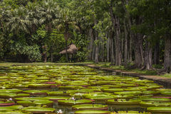 Lirio de agua gigante en el jardín botánico de Pamplemousse Isla Mauricio Fotografía de archivo