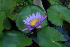 Lirio de agua hermoso con el pétalo violeta imagen de archivo libre de regalías