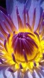 Lirio de agua de la flor imagen de archivo