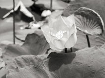 Lirio de agua/loto en el ambiente natural en blanco y negro Foto de archivo