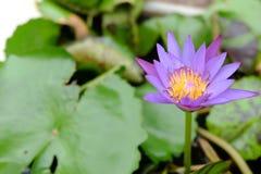 Lirio de agua, loto en naturaleza, loto en Tailandia Imagen de archivo