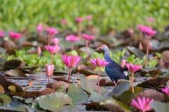 Lirio de agua, Lotus Imagen de archivo libre de regalías