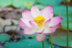 Lirio de agua, Lotus Fotos de archivo libres de regalías